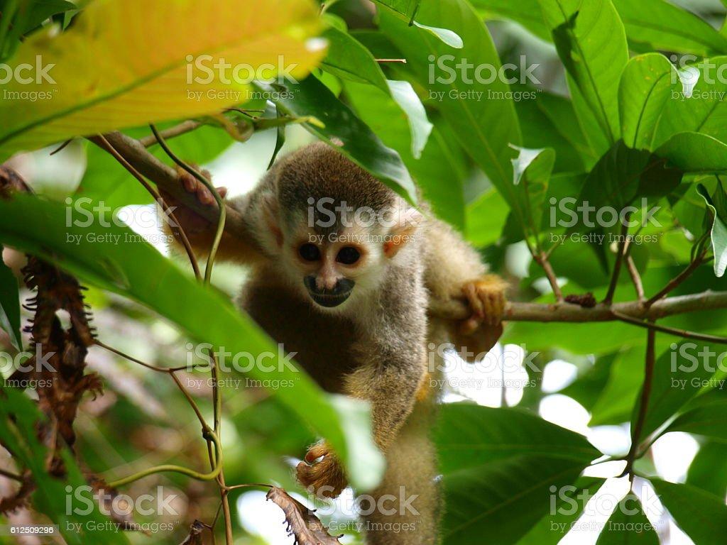 Squirrel Monkey in Costa Rica stock photo