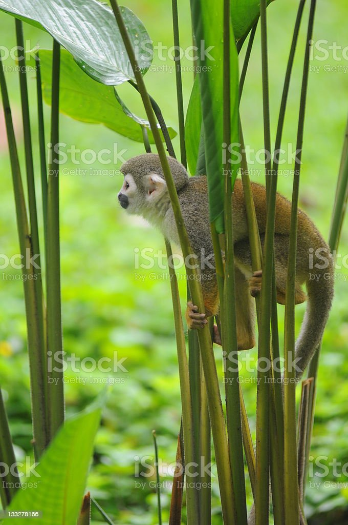 A squirrel monkey in the Amazon rainforest stock photo
