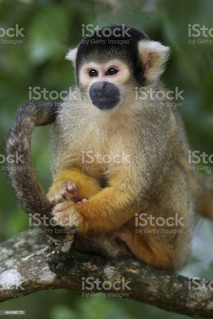 Squirrel Monkey in Tree stock photo