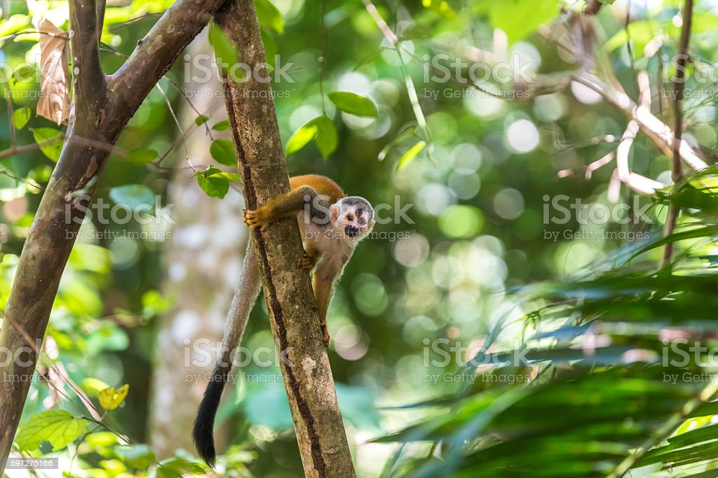 Squirrel Monkey on branch of tree - animals in wilderness stock photo
