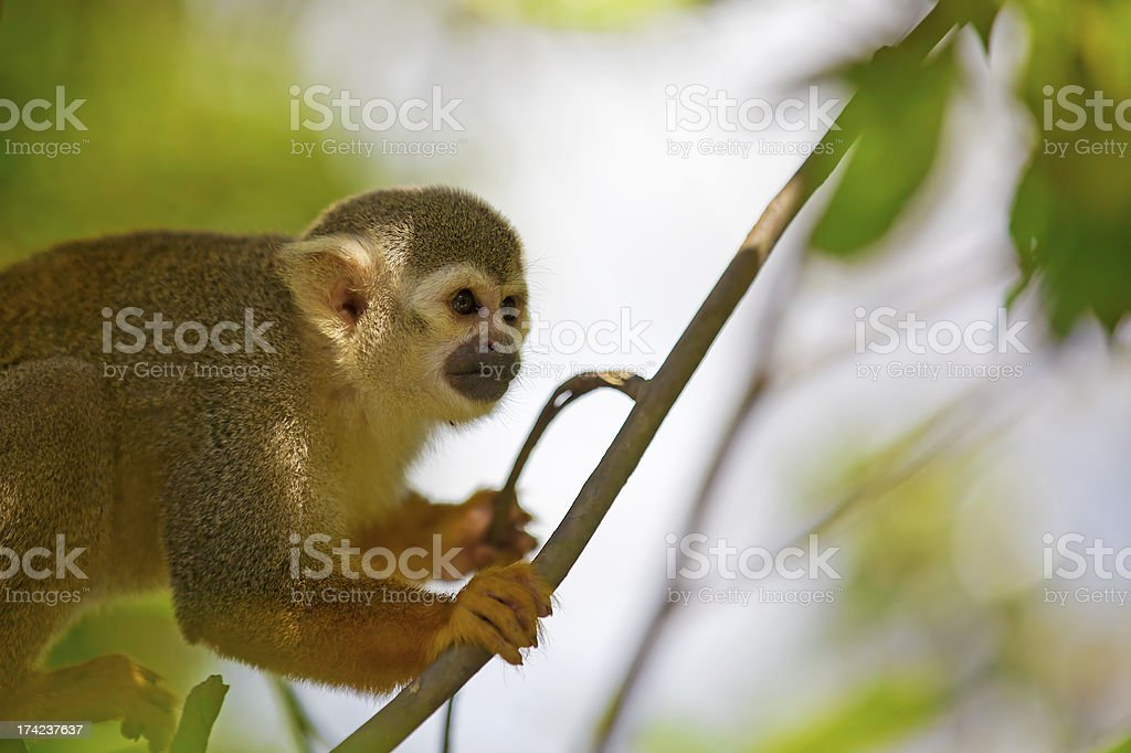 Squirrel Monkey royalty-free stock photo