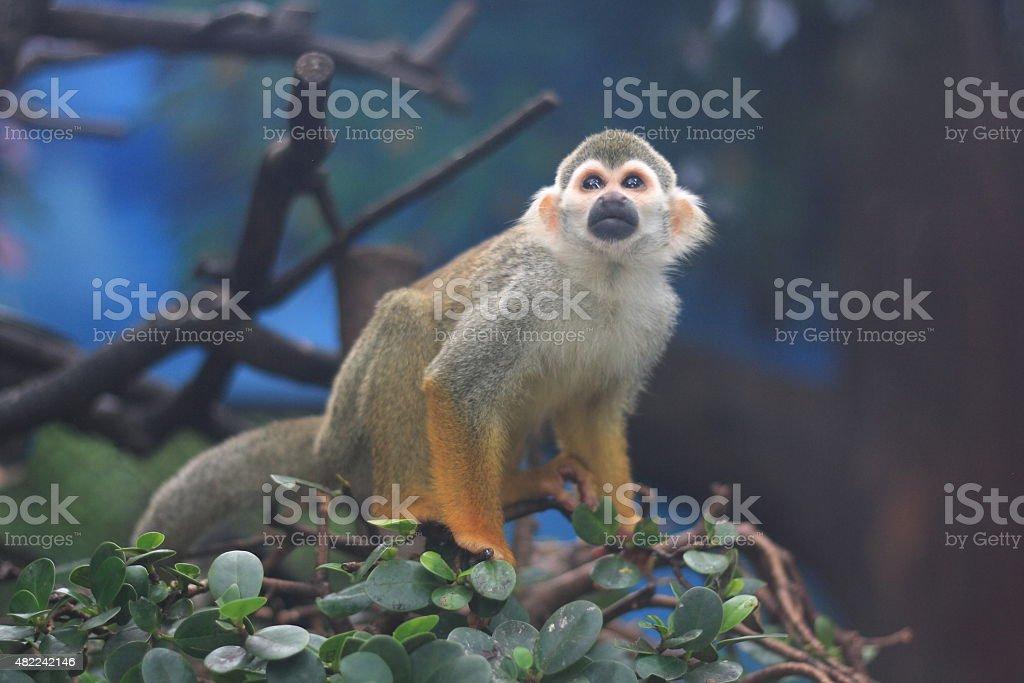 Squirrel Monkey (Saimiri sciureus) stock photo