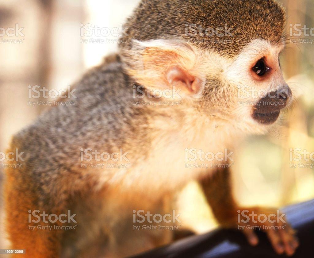 Squirrel Monkey Portrait stock photo