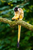Squirrel monkey sitting on branch and eating