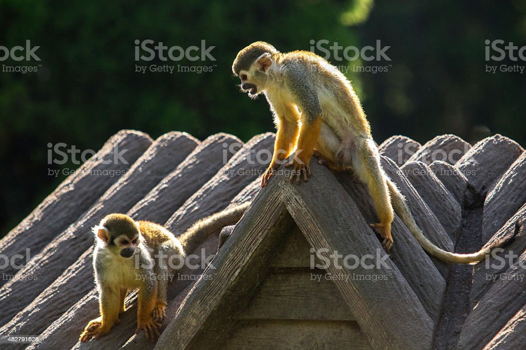 squirrel monkey sitting on cottage roof stock photo