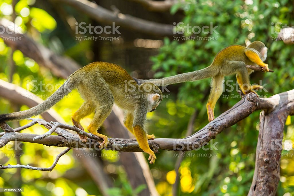 Squirrel monkeys in the trees. stock photo