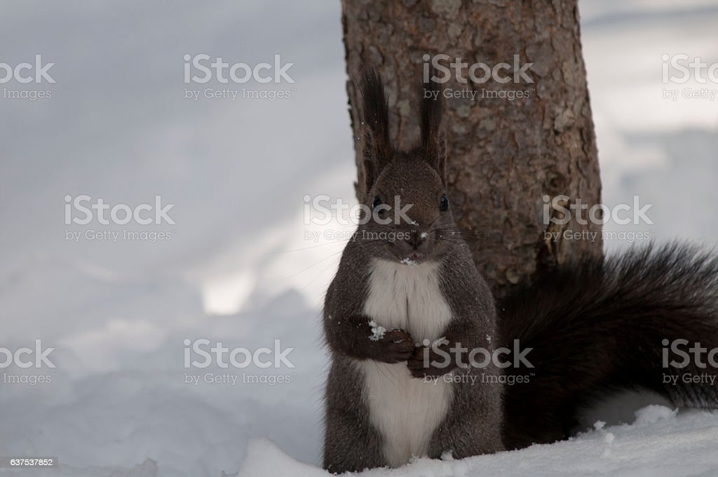 Squirrel of Hokkaido Japan stock photo