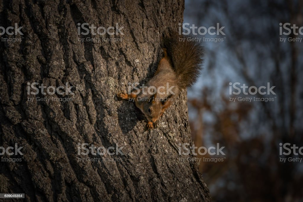 Squirrel on a oak tree stock photo