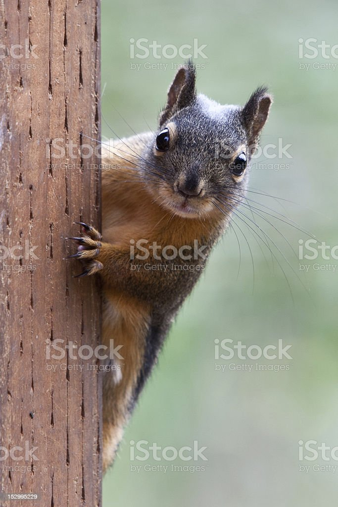 Squirrel On a Post stock photo
