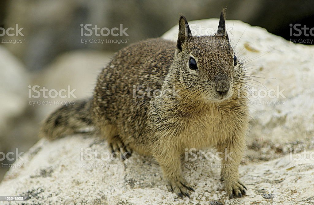 Squirrel on a rock royalty-free stock photo
