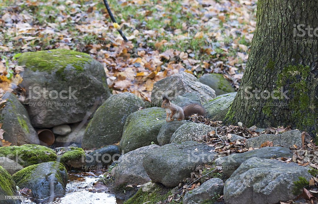Squirrel on rocks royalty-free stock photo