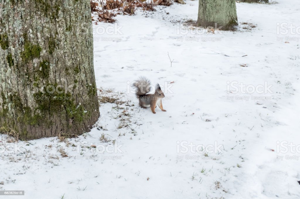 Squirrel on the ground full of snow stock photo