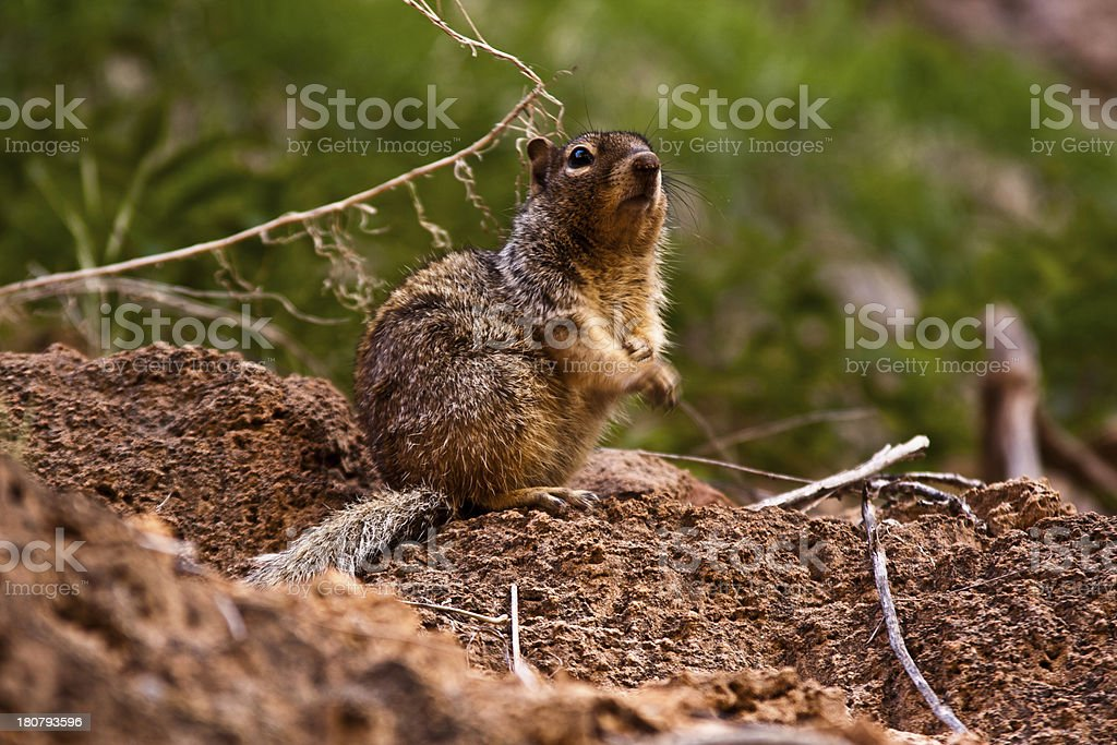 Squirrel on the ground royalty-free stock photo