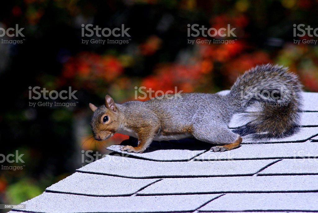 Squirrel on the Roof stock photo