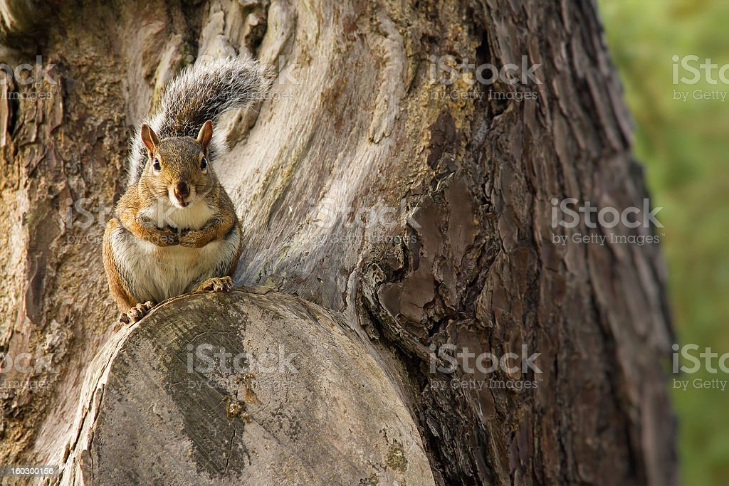 Squirrel On The Tree royalty-free stock photo