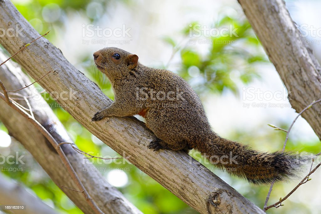 Squirrel on tree royalty-free stock photo