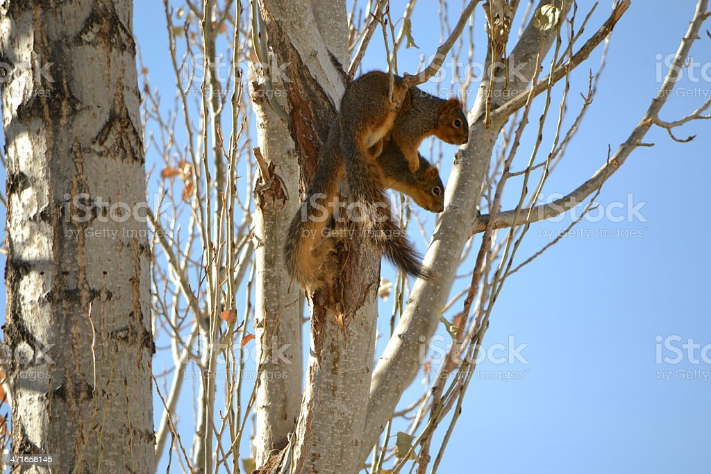 Squirrel Partners royalty-free stock photo