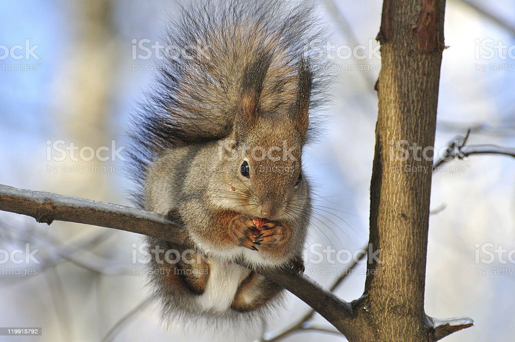 Squirrel. stock photo