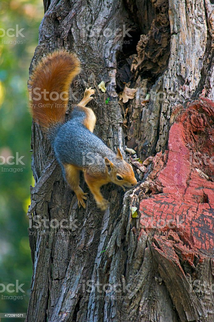 Squirrel royalty-free stock photo