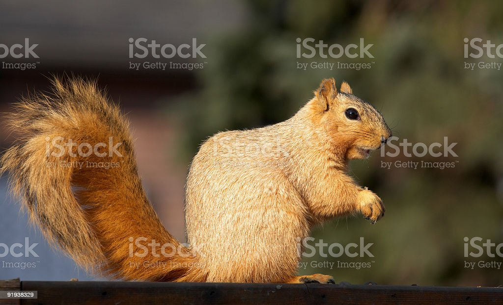 Squirrel Posing royalty-free stock photo