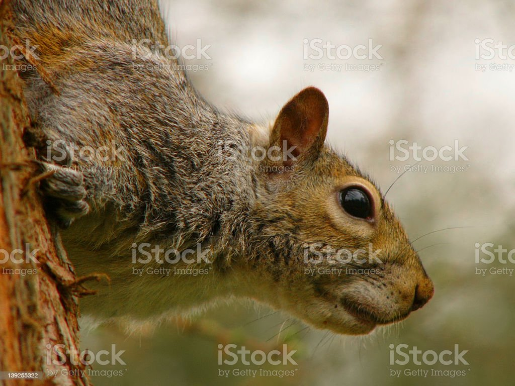 Squirrel ready for action royalty-free stock photo