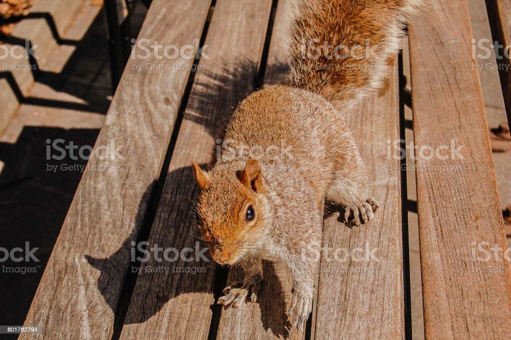 Squirrel Ready stock photo