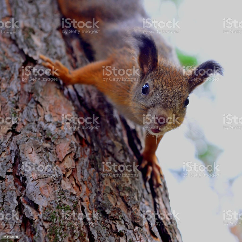 Squirrel red fur funny pets autumn forest on background wild stock photo