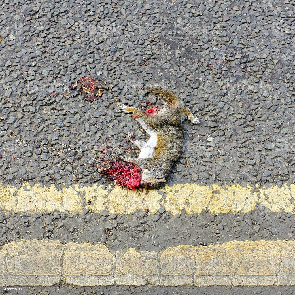 Squirrel roadkill carcass (Sciurus carolinensis). stock photo