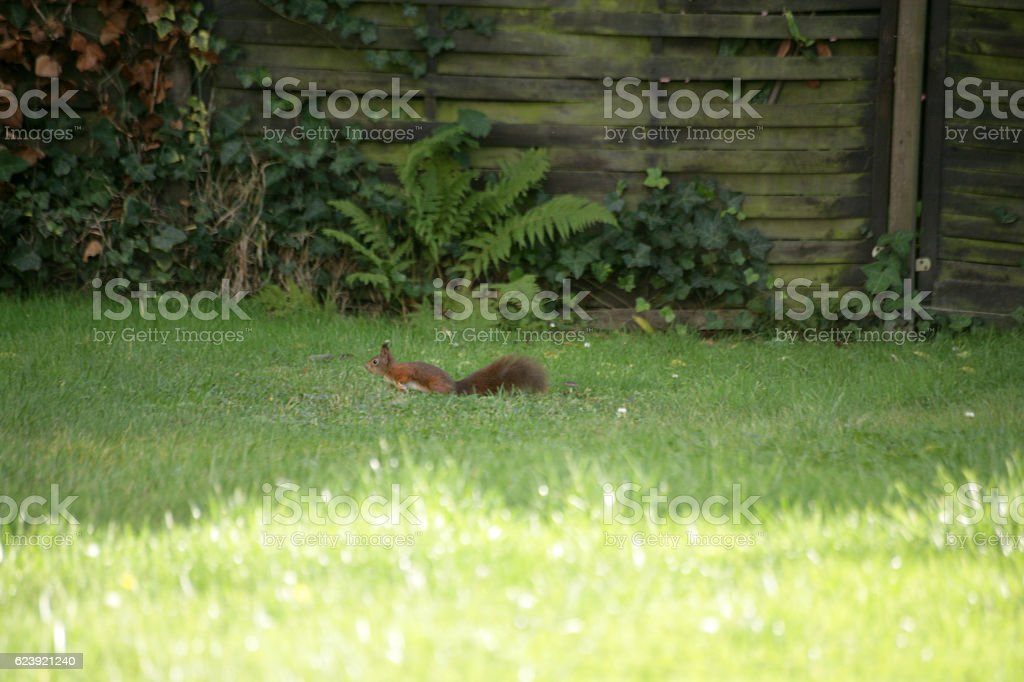 Squirrel running in the grass stock photo