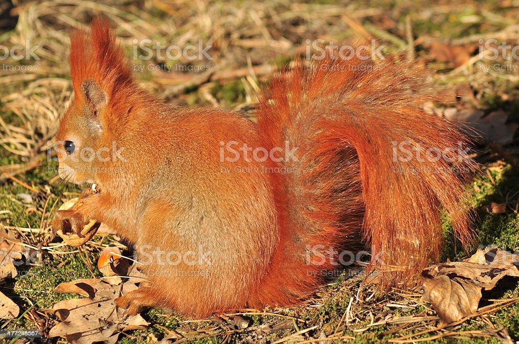 Squirrel - Sciurus vulgaris stock photo