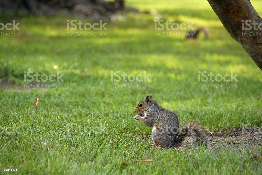 Squirrel Search royalty-free stock photo