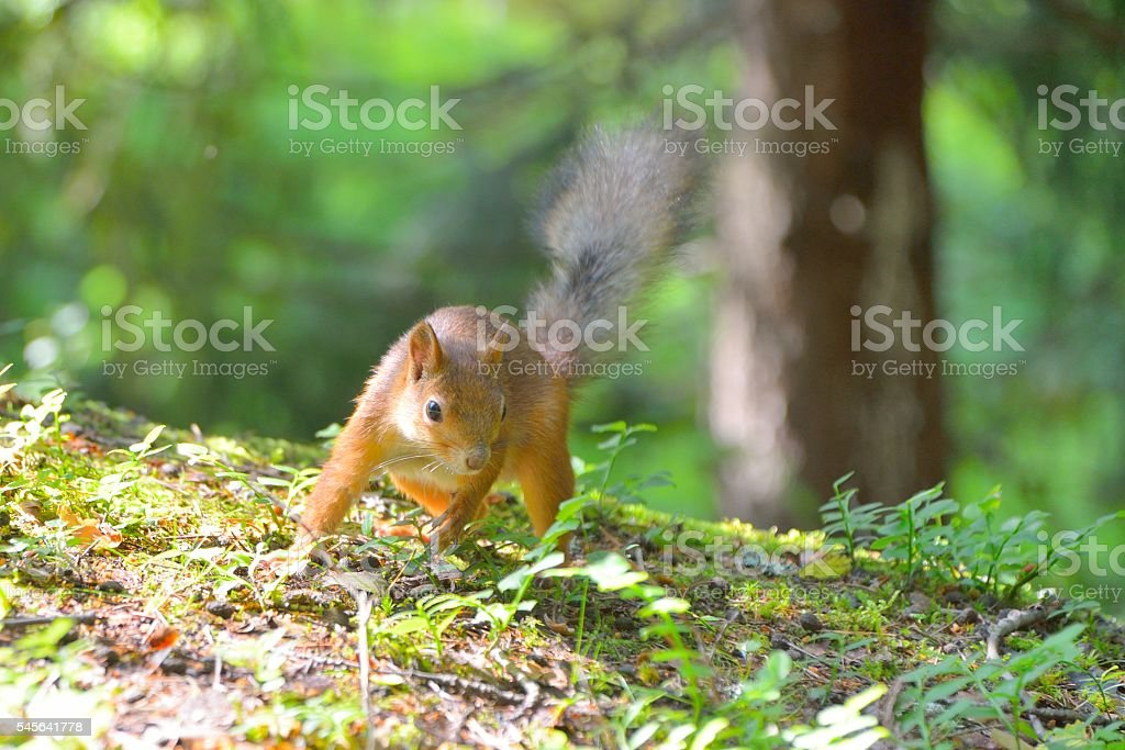 Squirrel searching for food stock photo