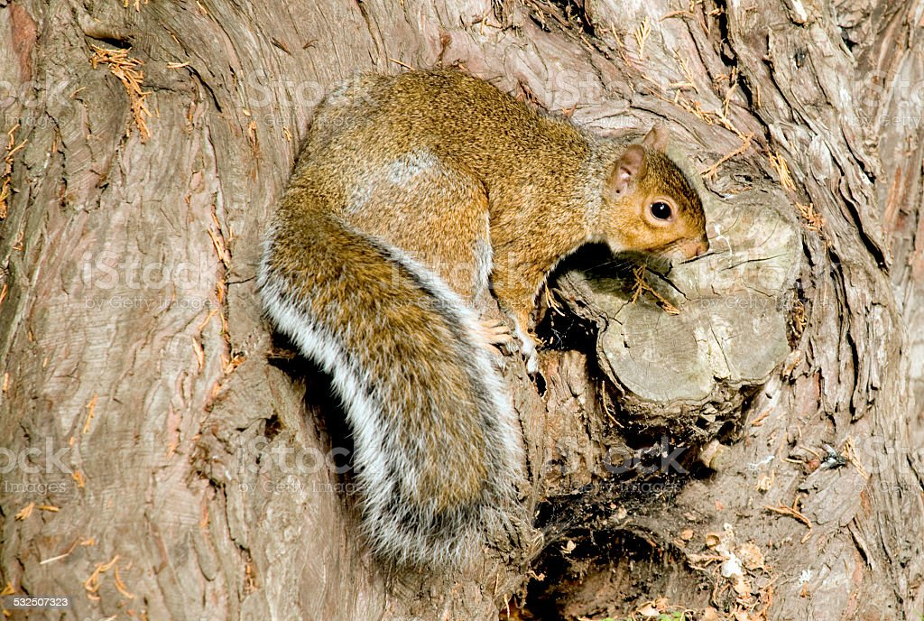 Squirrel sitting in a tree stock photo