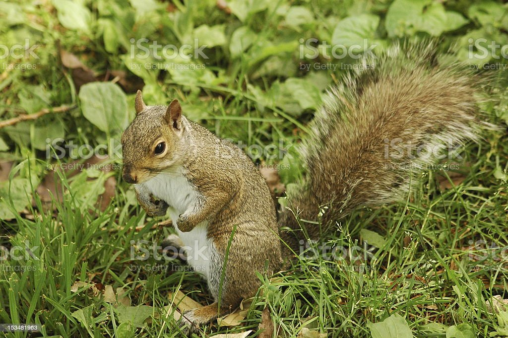Squirrel standing in grass royalty-free stock photo