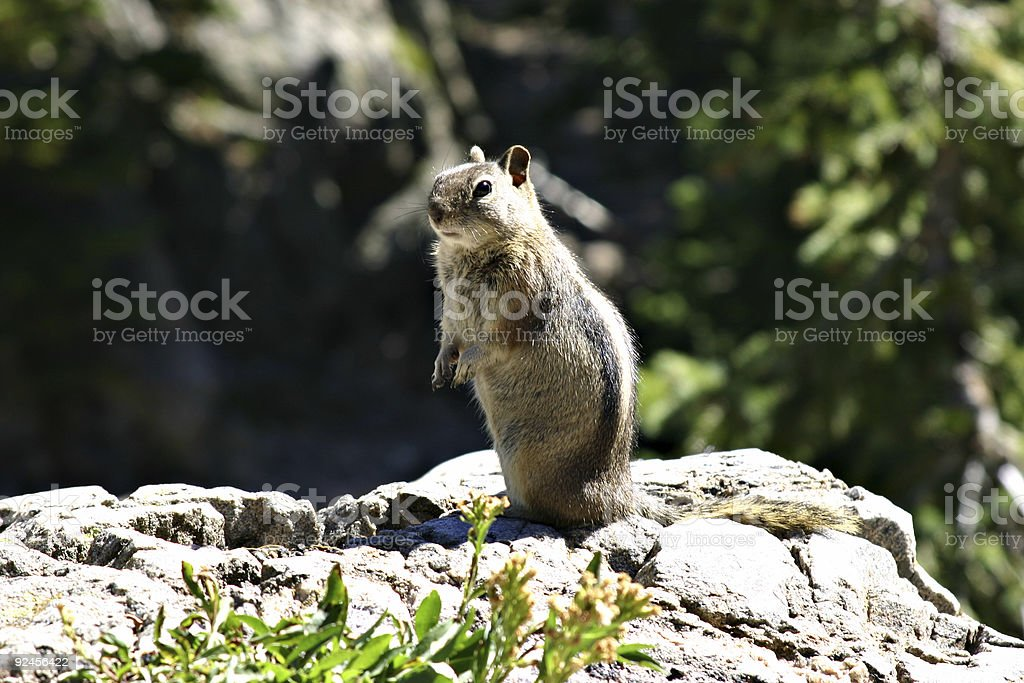 Squirrel Standing On A Rock royalty-free stock photo