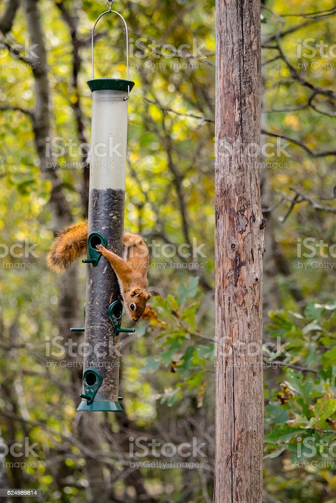 squirrel stealing food stock photo