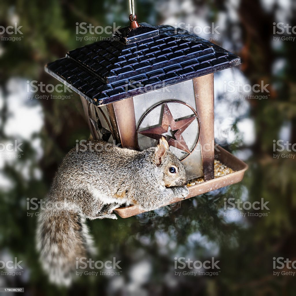 Squirrel stealing from bird feeder royalty-free stock photo