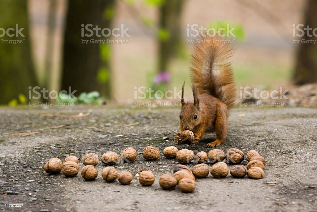 Squirrel taking a nut stock photo