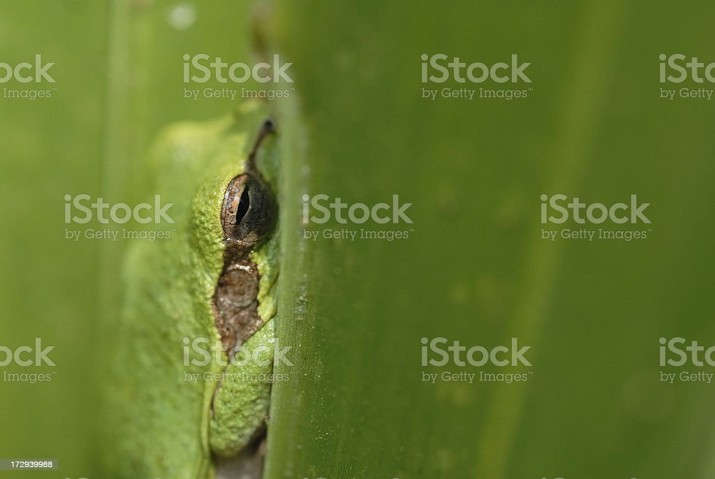 Squirrel tree frog hiding royalty-free stock photo