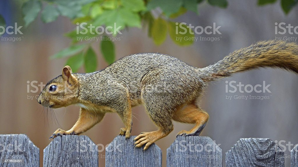 Squirrel walking on a fence royalty-free stock photo