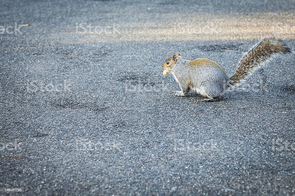 Squirrel with a nut in the mouth royalty-free stock photo