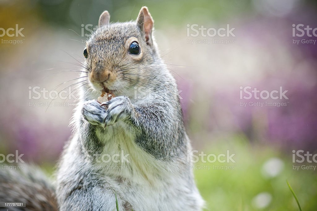 Squirrel with a nut royalty-free stock photo