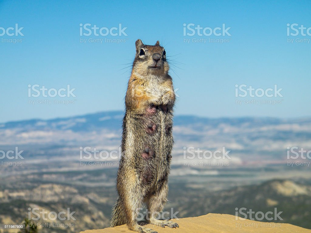 Squirrel with Grand Canyon in the background stock photo
