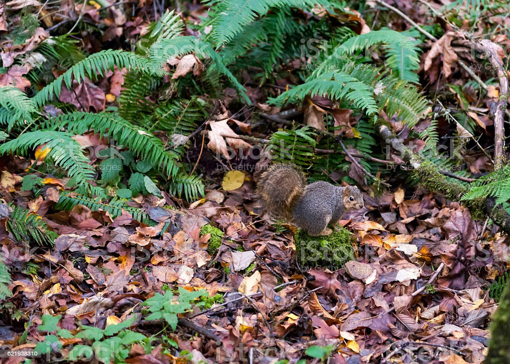 Squirrel with Leaves and Ferns Oregon Forest stock photo
