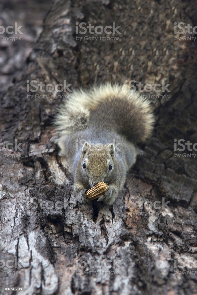 squirrel with nut royalty-free stock photo