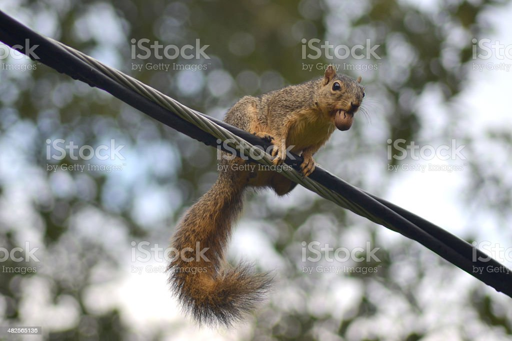 Squirrel with Pecan in its mouth stock photo