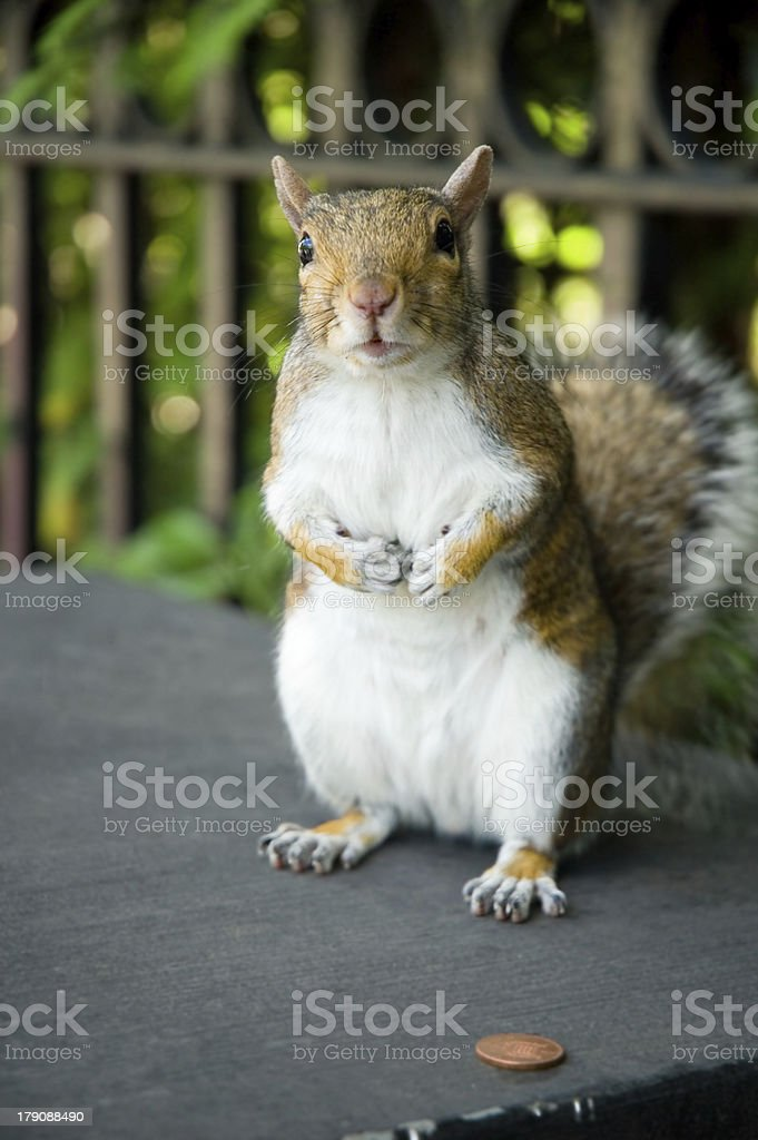 Squirrel with penny royalty-free stock photo