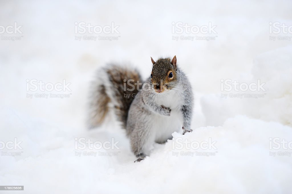Squirrel with snow in winter royalty-free stock photo