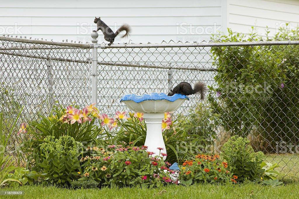Squirrels and Birdbath royalty-free stock photo