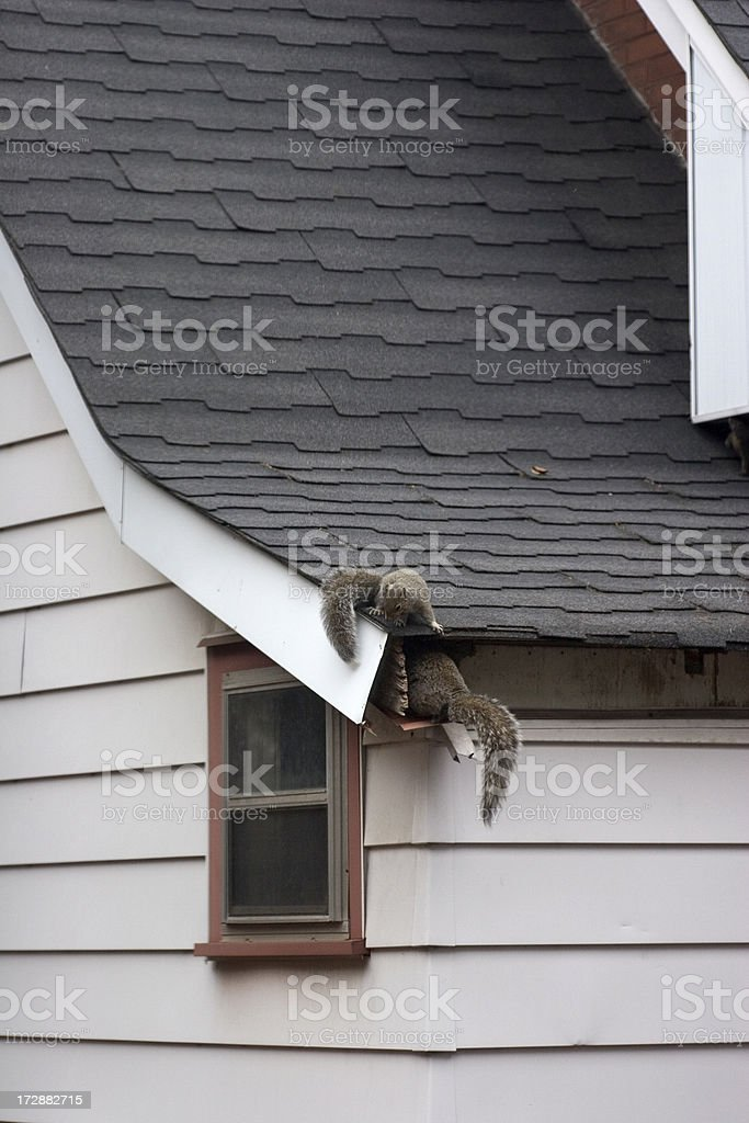 Squirrels In Attic stock photo